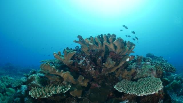 vídeos y material grabado en eventos de stock de damisela escondida en coral duro submarinos - palaos
