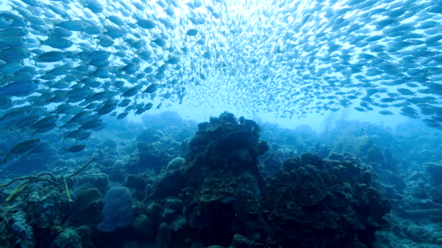 dancing bait ball in coral reef of caribbean sea around curacao - subacqueo video stock e b–roll