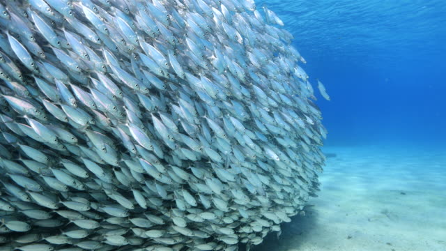 dancing bait ball in shallow water of the coral reef in the Caribbean Sea around Curacao