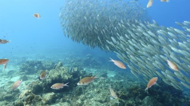 Tanzen Köder Kugel im seichten Wasser des Korallenriffs in der Karibik auf Curacao – Video