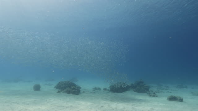 dancing bait ball in shallow water of the coral reef in the caribbean sea around curacao - poco profondo video stock e b–roll