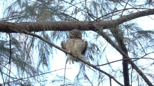 dancing owl. - уход за поверхностью тела у животных стоковые видео и кадры b-roll