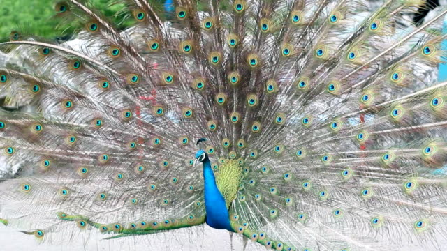 Dancing Peacock video
