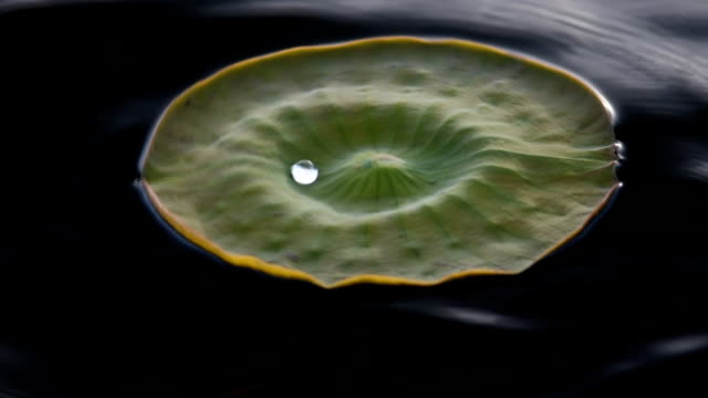 Dancing water droplet on floating lily pad video