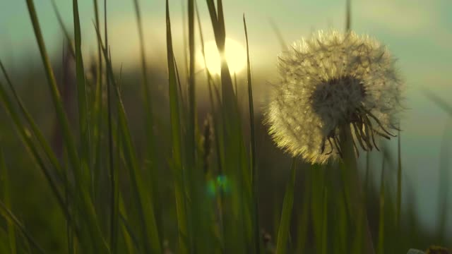 Dandelion and the Grassland Macro Closeup Slow Motion Footage During Sunset Dandelion and the Grassland Macro Closeup Slow Motion Footage During Sunset dandelion stock videos & royalty-free footage