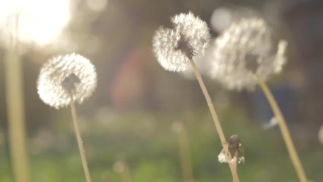 Dandelion Being Blown by Wind video