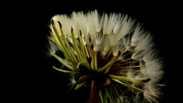 Dandelion blooming in time lapse video. video