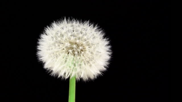 Dandelion blooming macro 4K Dandelion macro, blooming dandelion in time lapse video. dandelion stock videos & royalty-free footage