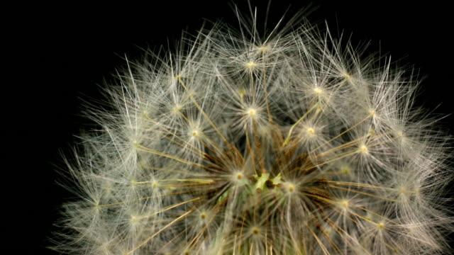 Dandelion blooming macro 4K video