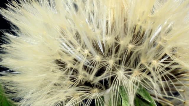 Dandelion blooming video