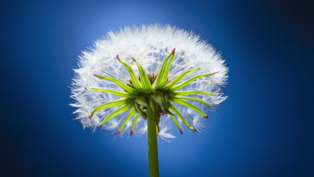 Dandelion blooms with white pappus