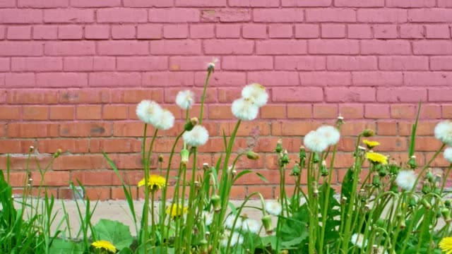 Dandelion blowball in front of brick wall