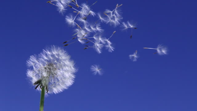 Dandelion blowing away with seeds across a clear blue sky Dandelion blowing away with seeds across a clear blue sky dandelion stock videos & royalty-free footage