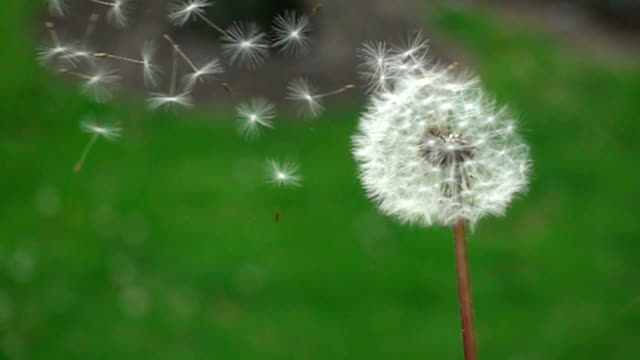 CU SLO MO Dandelion blowing in nature Chicago, USA CU SLO MO Dandelion blowing in nature Chicago, USA dandelion stock videos & royalty-free footage