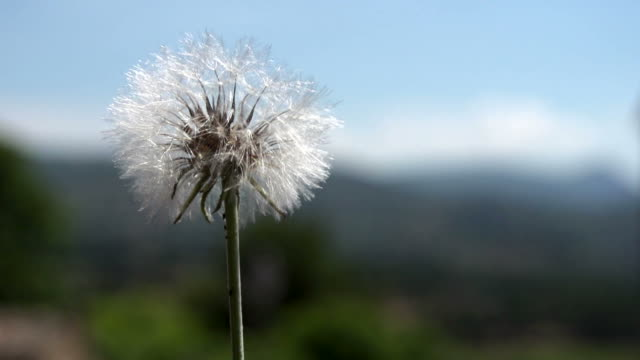 Dandelion Blowing In Super Slow Motion video