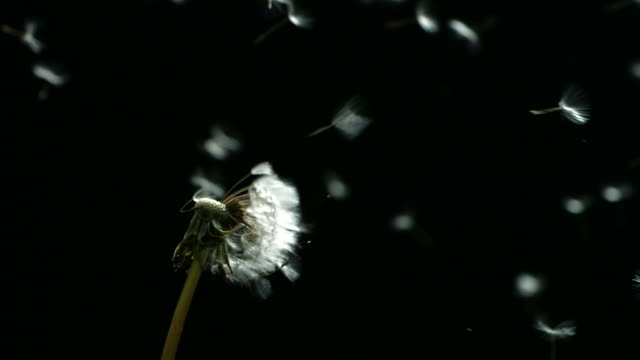 Dandelion blowing, slow motion video