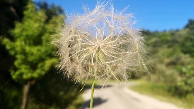 Dandelion branch waves on the wind