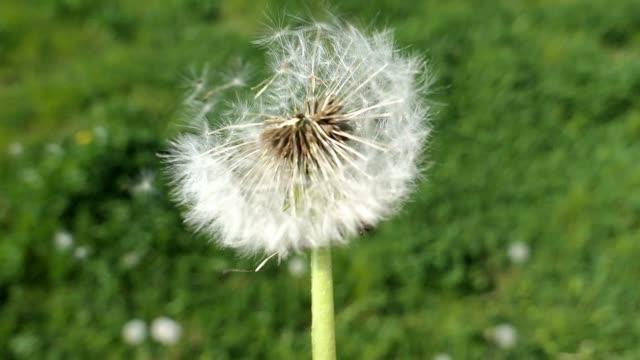 Dandelion Clock Puff-Ball on the Wind