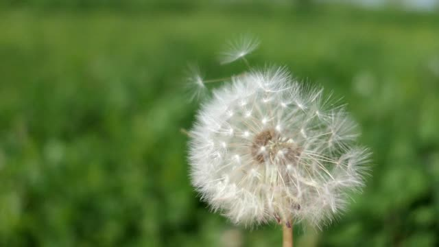 Dandelion Clock Puff-Ball on the Wind