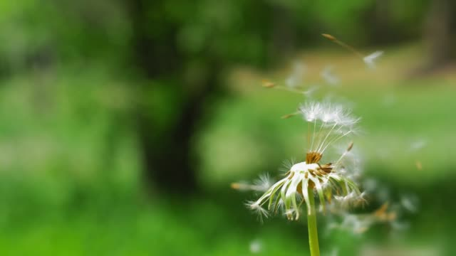 Dandelion Clock Puff-Ball Seeds Flying on the Wind Reverse Slow Motion