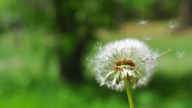 Dandelion Clock Puff-Ball Seeds Flying on the Wind Slow Motion