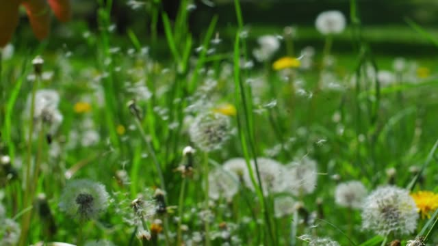 Dandelion Clock Puff-Ball Seeds Flying Slow Motion