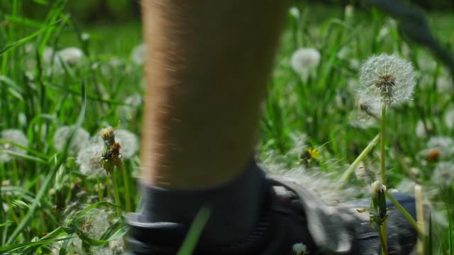 Dandelion Clock Puff-Ball Seeds Flying Slow Motion