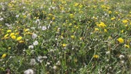 istock Dandelion field in May on a sunny day 1318722103