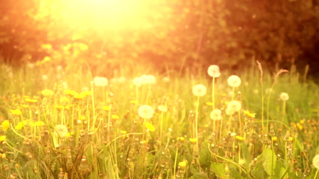 dandelion field - alternative medicine stock videos and b-roll footage