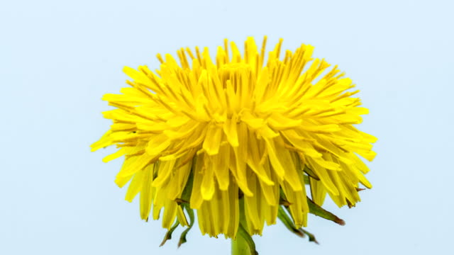 Dandelion flower blooming in a time lapse Hd 1080 video. Common dandelion, Taraxacum officinale growing in motion. video