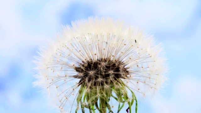 Dandelion flower blooming in a time lapse Hd 1080 video. Common dandelion seed, Taraxacum officinale growing in motion. Dandelion flower blooming in a blue background. Taraxacum officinale dandelion stock videos & royalty-free footage