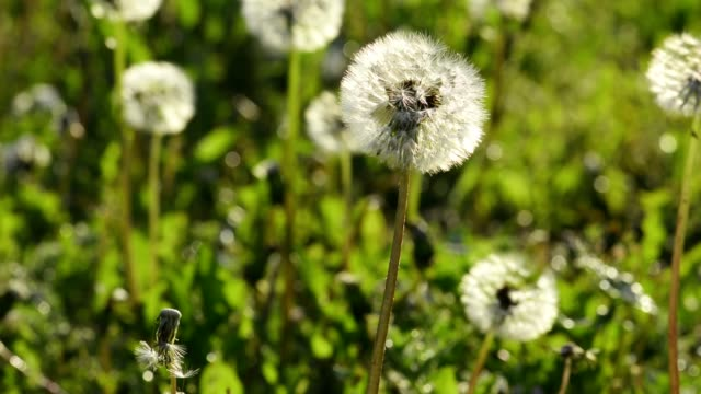 Dandelion flower in the spring