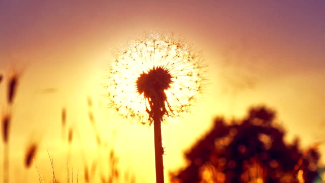 dandelion flower on summer field in sunset 4k