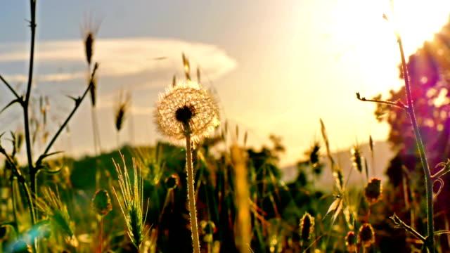 vídeos de stock, filmes e b-roll de flor do dandelion no campo do verão no por do sol 4k - sem cultivo