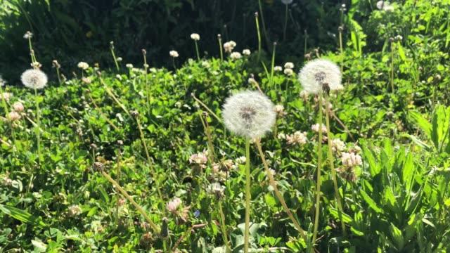 緑の背景を持つタンポポの花 - ふわふわ点の映像素材/bロール