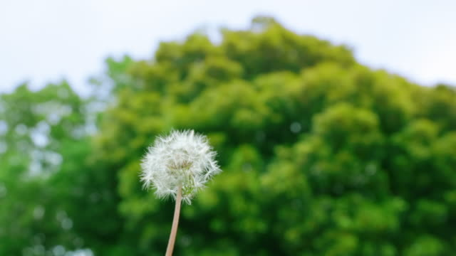 Dandelion fluff swaying in the wind