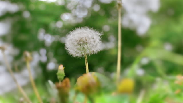 Dandelion fluff swaying in the wind