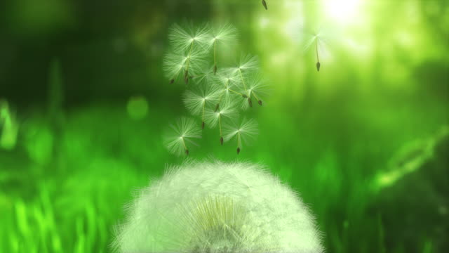 Dandelion flying seeds - loopable video