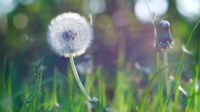 Dandelion heard slightly moved by the wind breeze, seeds falling down, sunlight flares and round bokeh flickering in background, close up, vintage video