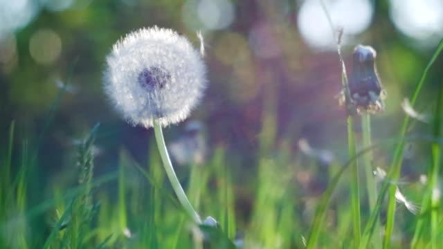 タンポポ聞いた風風に少し感動種子が落ちて、太陽光フレアしボケ背景でちらつきをラウンド、クローズ アップ、ヴィンテージ ビデオ
