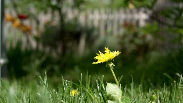 dandelion in a german garden - дикая растительность стоковые видео и кадры b-roll