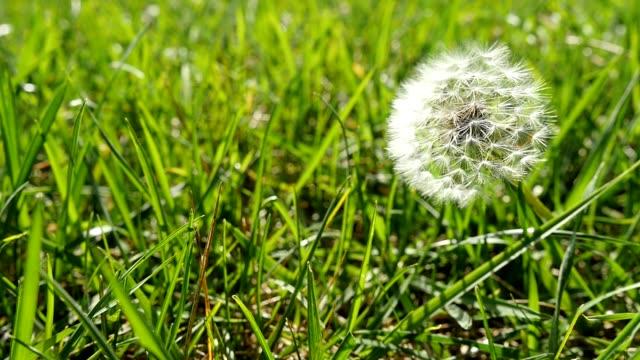 Dandelion In The Wind.