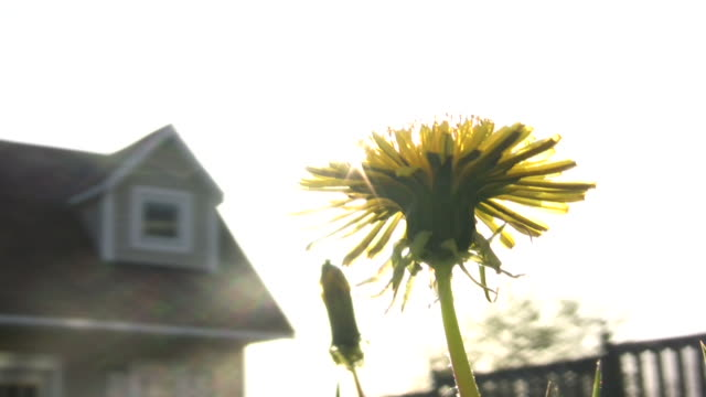 löwenzahn in wind mit sonne - fokus auf den vordergrund stock-videos und b-roll-filmmaterial