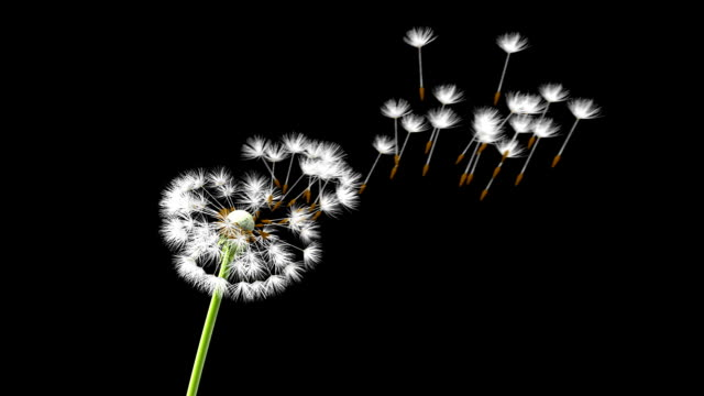 Dandelion on a blue background Dandelion on a blue background, 3d animation  dandelion stock videos & royalty-free footage