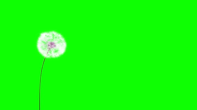 Dandelion on the wind (Green Screen)  dandelion stock videos & royalty-free footage