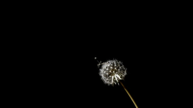 Dandelion seeds blowing from the flower video