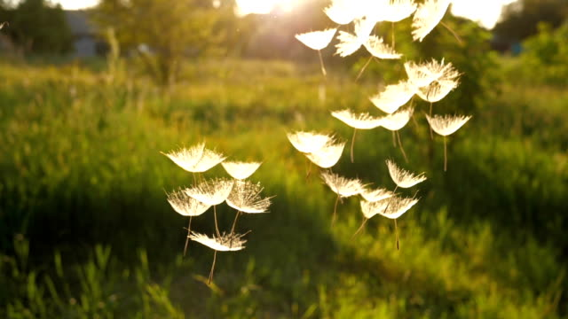 Dandelion Seeds falling from the sky Scenic flight of Dandelion seeds at sunset dandelion stock videos & royalty-free footage