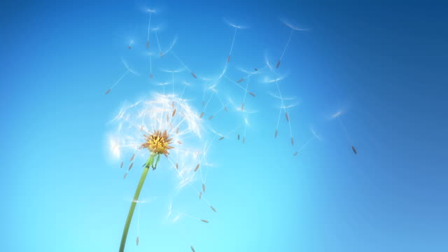 Dandelion seeds flying Seeds of dandelion flying away by wind against sky background dandelion stock videos & royalty-free footage