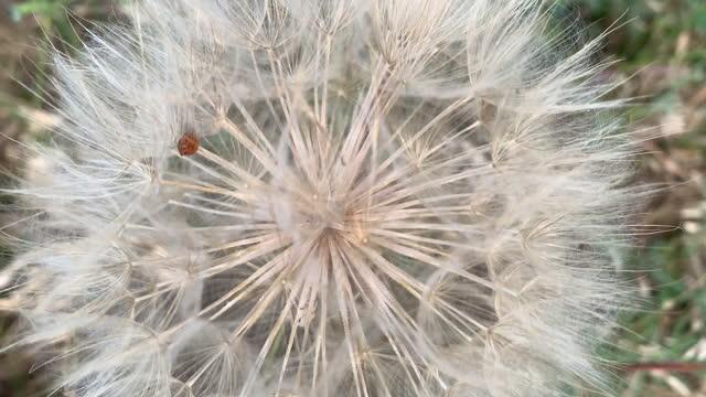 dandelion video