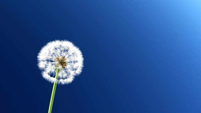 Dandelion Dandelion, 3d animation  dandelion stock videos & royalty-free footage